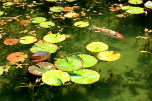 湧き水が美しいモネの池を回遊する鯉と睡蓮の葉の写真素材 [FYI03240957]