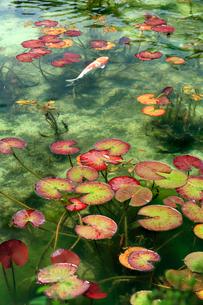 湧き水が美しいモネの池を回遊する錦鯉と睡蓮の葉の写真素材 [FYI03240958]