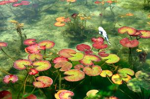 湧き水が美しいモネの池を回遊する鯉と睡蓮の葉の写真素材 [FYI03240959]