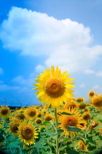 入道雲を背景に咲きほこる向日葵の花の写真素材 [FYI03240962]