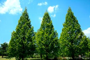 爽やかな5月の青空に浮かぶ白い雲の下芽吹きが美しい三本の樹木の写真素材 [FYI03240969]