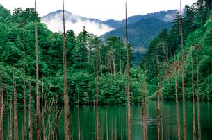 山霧と立木が印象的な長野自然湖の朝の風景の写真素材 [FYI03241003]