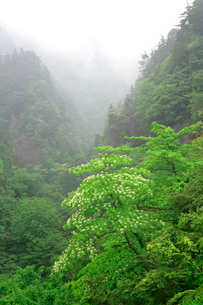 山霧を背景に白いヤマボウシの花が印象的なカオレ渓谷の春の写真素材 [FYI03241005]