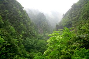 山霧を背景に白いヤマボウシの花が印象的なカオレ渓谷の春の写真素材 [FYI03241008]