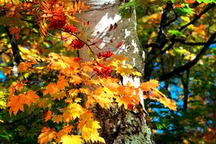 ナナカマドの赤い実と白い幹が印象的な大沼池の木立の写真素材 [FYI03241009]