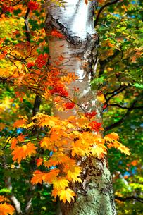 ナナカマドの赤い実と白い幹が印象的な大沼池の木立の写真素材 [FYI03241014]