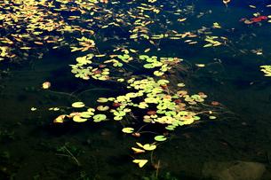 透明な水と美しい水草が印象的な蓮池の朝の写真素材 [FYI03241017]