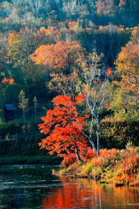 夜明けの朝に赤色の紅葉が印象的な一本の樹の写真素材 [FYI03241025]