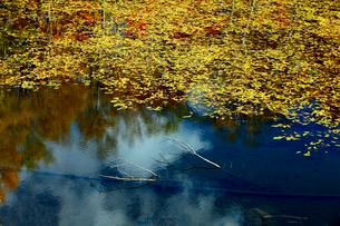 透明な水に横たわる枯れ木と美しい水草が印象的な蓮池の朝風景の写真素材 [FYI03241027]