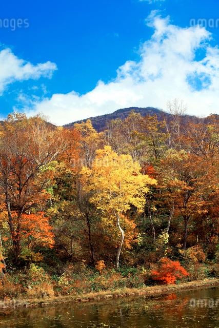 青空、白い雲のもと、紅葉に染まる蓮沼の印象の写真素材 [FYI03241030]