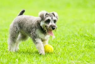 テニスボールと遊ぶ子犬の写真素材 [FYI03241243]