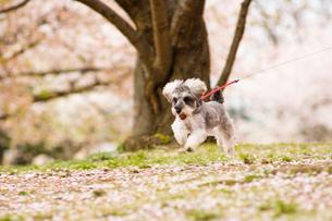 サクラの木の下を走る犬の写真素材 [FYI03241349]