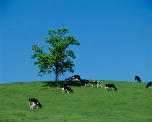 草原の牧場と牛の写真素材 [FYI03241828]
