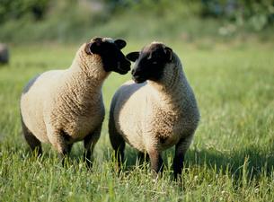 2匹の羊の写真素材 [FYI03241830]