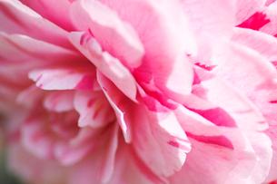薄いピンクに濃いピンクの斑のツバキの写真素材 [FYI03241860]