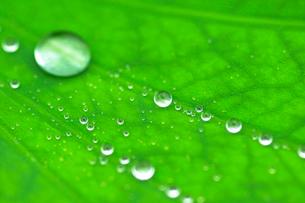 葉の上についた水滴の写真素材 [FYI03241943]