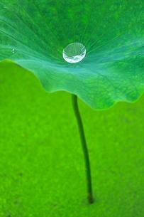 葉の上についた1粒の水滴の写真素材 [FYI03241949]