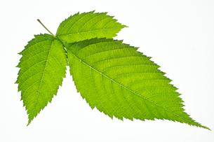 ウルシの葉の写真素材 [FYI03242041]