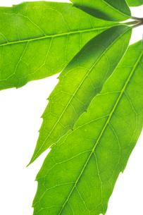 アオキの葉の写真素材 [FYI03242043]