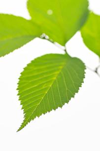 ヤマザクラの葉の写真素材 [FYI03242045]