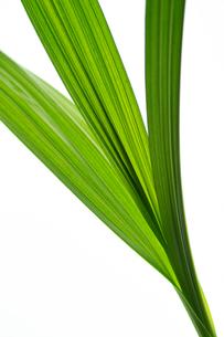 シランの葉の写真素材 [FYI03242053]