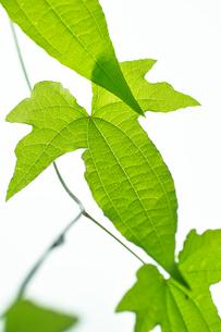 カエデトコロの葉の写真素材 [FYI03242076]