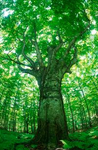 藤里町のブナの巨木の写真素材 [FYI03242103]