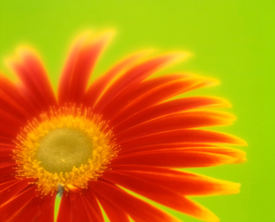 赤いガーベラのアップ(緑バック)の写真素材 [FYI03242119]