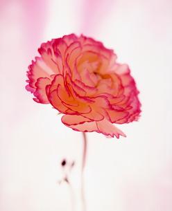 赤とクリーム色のカーネーションの写真素材 [FYI03242137]