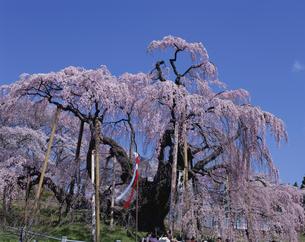 三春滝桜の写真素材 [FYI03242599]