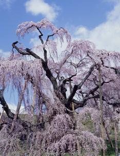 三春滝桜の写真素材 [FYI03242618]