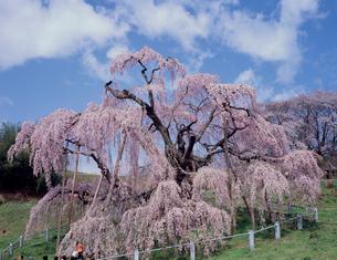 三春滝桜の写真素材 [FYI03242799]