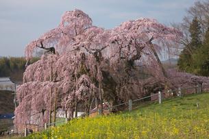 三春の滝桜の写真素材 [FYI03243179]