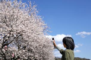 携帯でサクラの写真を撮る女の子の写真素材 [FYI03243762]