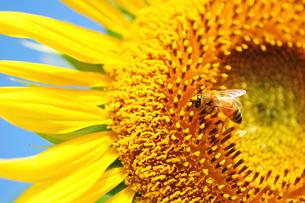 ミツバチとヒマワリの写真素材 [FYI03243780]