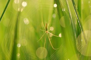 クモの巣にぶら下がるナガアシグモの写真素材 [FYI03243818]