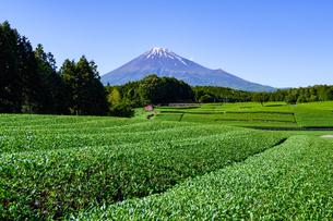 富士市大渕笹場より見た茶畑と富士山の写真素材 [FYI03243997]