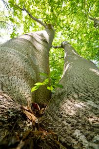 仰ぎ見る朴の木と根元から芽を出したコナラの幼木の写真素材 [FYI03244019]