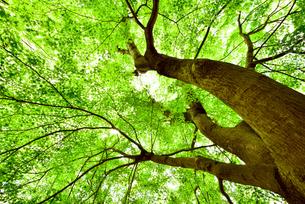 仰ぎ見る新緑のモミジの樹の写真素材 [FYI03244045]