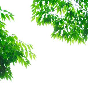 シラカシの写真素材 [FYI03244164]
