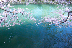 堀に張り出した桜の枝の写真素材 [FYI03244542]