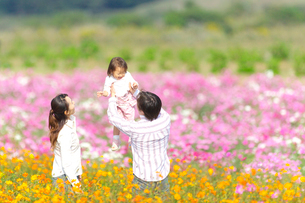 コスモス畑で遊ぶ家族の写真素材 [FYI03244640]