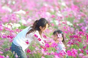コスモス畑で遊ぶ親子の写真素材 [FYI03244650]