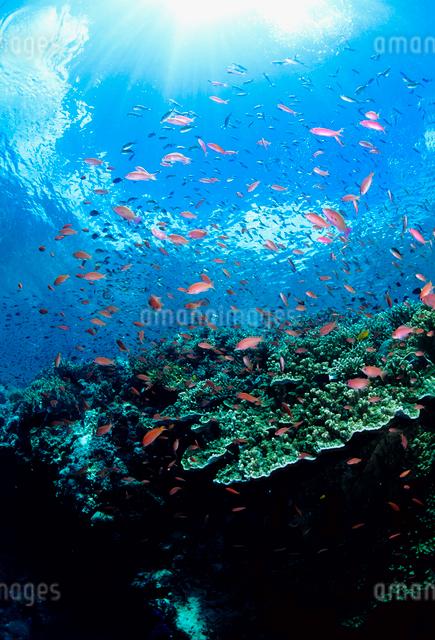 珊瑚礁に群れるキンギョハナダイの写真素材 [FYI03244858]