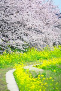 桜と菜ノ花の小道の写真素材 [FYI03244905]