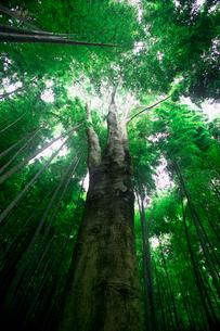 竹林と高木の写真素材 [FYI03244923]