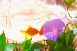 朝顔と2匹の金魚の写真素材 [FYI03244988]