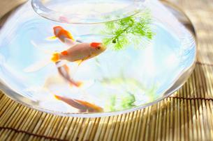 水草と金魚の写真素材 [FYI03244994]