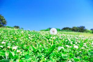 公園のタンポポとシロツメクサの写真素材 [FYI03245095]