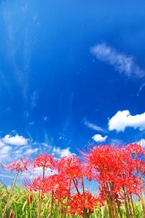 ヒガンバナと青空の写真素材 [FYI03245135]